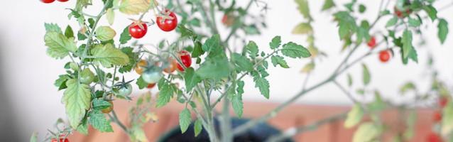 Pomidorek koktailowy w domu z bali